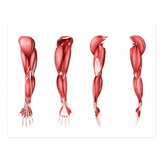 の 筋肉 腕 筋肉の名称と種類|部位ごとの作用と役割│【公式】公益社団法人 日本パワーリフティング協会