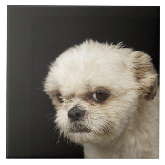 Image result for 犬 shih tzu 怒っている