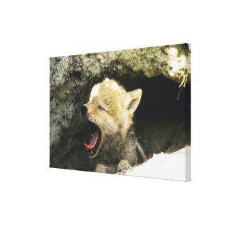 あくびをしているコヨーテの子犬 キャンバスプリント