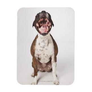 あくびをするボクサー犬のポートレート マグネット