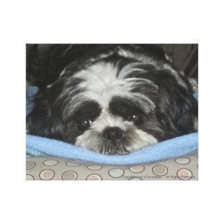 あなたのハートを暖めるシーズー(犬)のTzuの子犬のキャンバスの芸術 キャンバスプリント