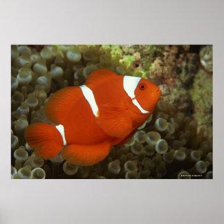 いそぎんちゃくとのあずき色のclownfish ポスター