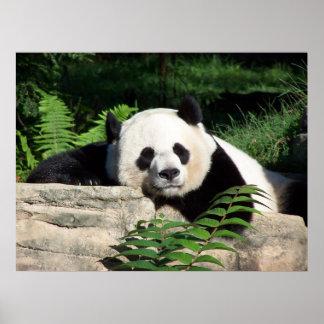 うたた寝しているジャイアントパンダ ポスター