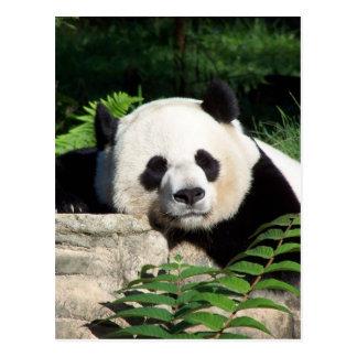 うたた寝しているジャイアントパンダ ポストカード