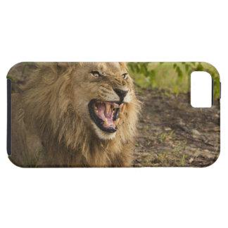 うなっているオスのライオン(ヒョウ属レオ)、Okavango iPhone SE/5/5s ケース