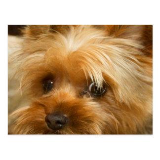 お母さん愛haley犬のヨークシャーテリアテリアを待って下さい ポストカード