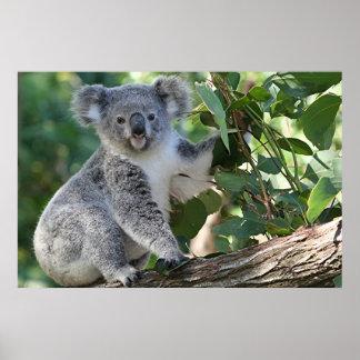 かわいいオーストラリアのコアラ ポスター