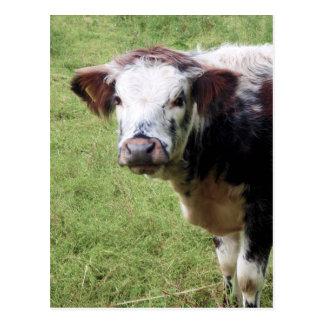 かわいいブラウンおよび白い子牛(若い牛)の郵便はがき ポストカード