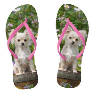 かわいい長い髪のクリーム色のチワワ犬の子犬の写真- ビーチサンダル