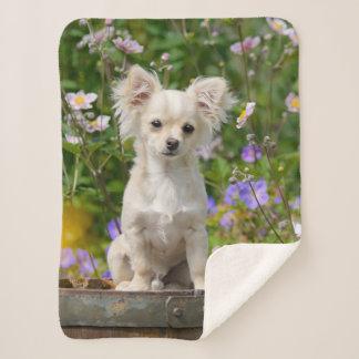 かわいい長髪のクリーム色のチワワ犬の子犬ペット写真 シェルパブランケット