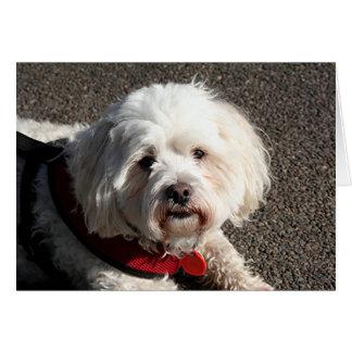 かわいいbichonのfrise犬 カード
