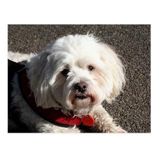 かわいいbichonのfrise犬 ポストカード