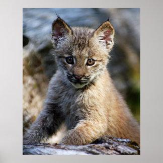かわいく小さいカナダのオオヤマネコの子ネコ ポスター