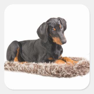 かわいく小さい(犬)ドーベルマン・ピンシェルの子犬 スクエアシール