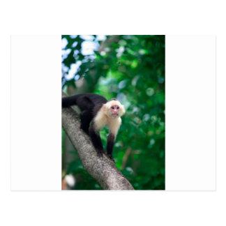 かわいく白い直面されたcapuchin猿ニカラグア ポストカード