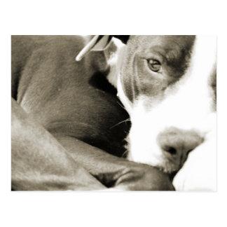 かわいく眠く不精なピット・ブル犬 ポストカード