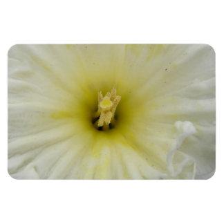 かわいらしく淡い色のなラッパスイセンの報酬の磁石 マグネット