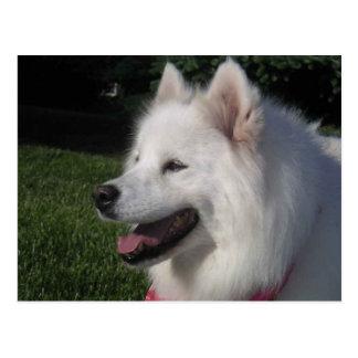 かわいらしく甘く白いSamoyed犬 ポストカード