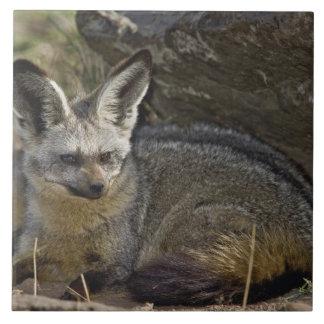 こうもり耳付つきのキツネ、Otocyonのmegalotis、マサイ語マラ タイル