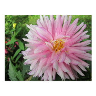 すばらしいピンクのダリアの花 ポストカード