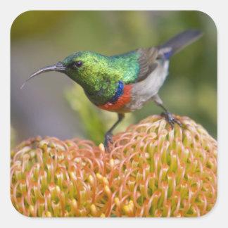 すばらしい二重襟首をつかまれたSunbirdは2で食べ物を与えます スクエアシール