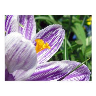 すみれ色の春のクロッカス ポストカード