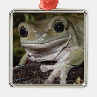 ずんぐりしたアマガエル。 微笑のカエル。 Litoria caerulea. メタルオーナメント
