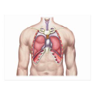そのままで人間の肺の解剖学 ポストカード
