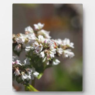 そば粉の植物(esculentumの花Fagopyrum フォトプラーク