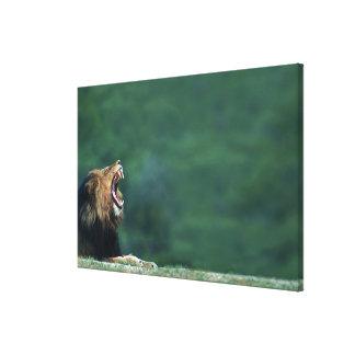 に置いているライオン(ヒョウ属レオ)の眺め キャンバスプリント