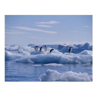 の6アデリーペンギンのPygoscelisのadeliae) ポストカード