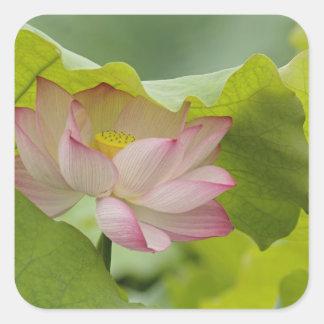 はすの花、ハス科のnucifera、中国 スクエアシール