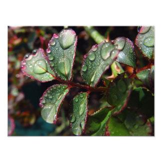 ばら色の木の葉の雨滴 写真プリント