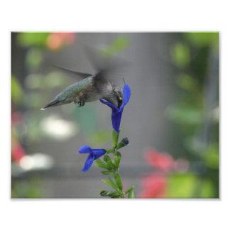 ぶんぶんいう鳥のsalviaのサファイアの青写真 フォトプリント