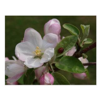 りんごの花および女性虫 ポストカード