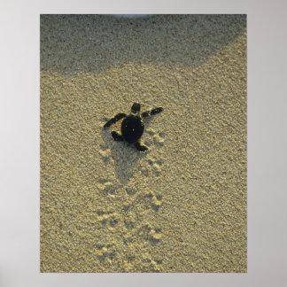 アオウミガメ、(Cheloniaのmydas)、hatchling ポスター