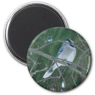アオカケスの鳴き鳥(Cyanocittaのcristata) マグネット