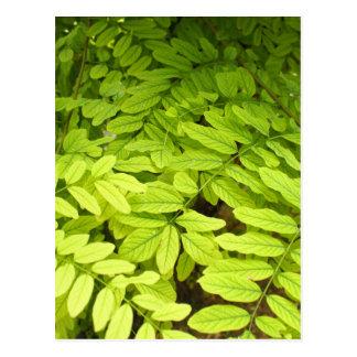 アカシアの明るく、緑、小さい、楕円形の葉 ポストカード
