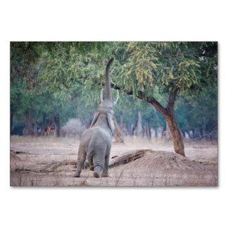 アカシアの木のために達している象 カード