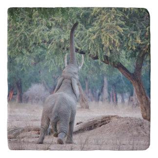 アカシアの木のために達している象 トリベット
