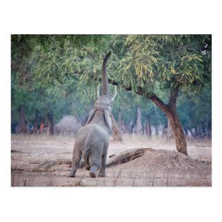 アカシアの木のために達している象 ポストカード