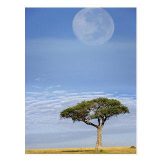 アカシアの木、マサイ語マラの上の満月、 ポストカード