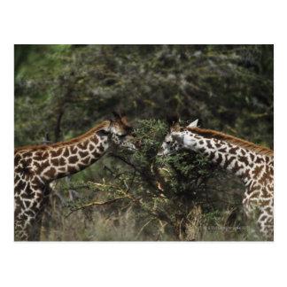 アカシアの枝、アフリカで食べ物を与えているキリン ポストカード