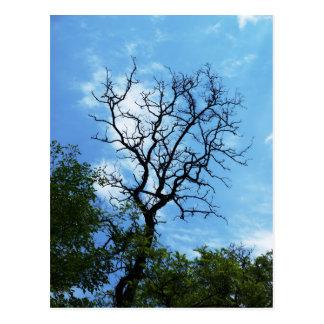 アカシアの枝 ポストカード