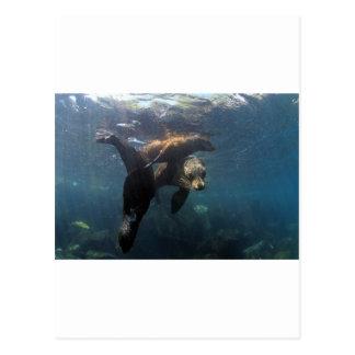 アシカの母および子犬のガラパゴス諸島 ポストカード