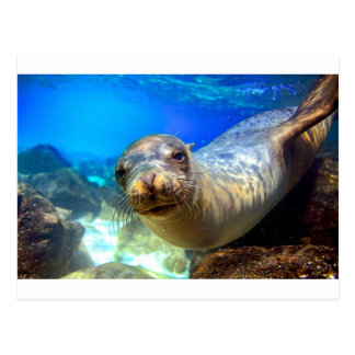 アシカの水中ガラパゴスの好奇心が強い楽園 ポストカード