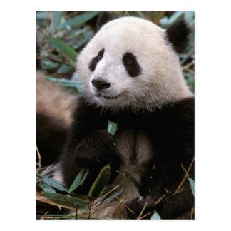 アジアの中国、成都。 ジャイアントパンダの聖域- ポストカード