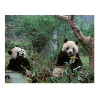 アジアの中国、成都。 ジャイアントパンダの聖域- 2 ポストカード