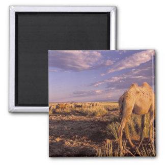アジア、モンゴル、ゴビ砂漠、素晴らしいゴビ砂漠 マグネット