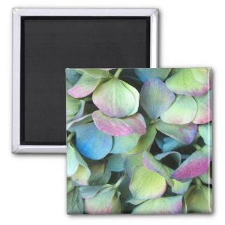 アジサイの多色刷りの花びら --- マグネット
